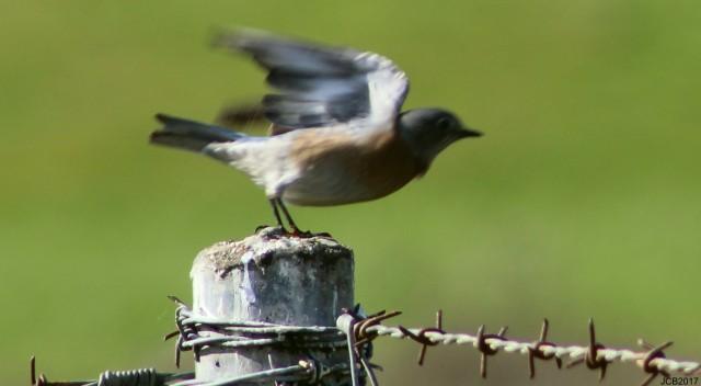 birdbarb